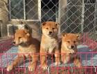 大连哪里有卖柴犬 纯种柴犬多少钱 日系柴犬出售 精品柴犬