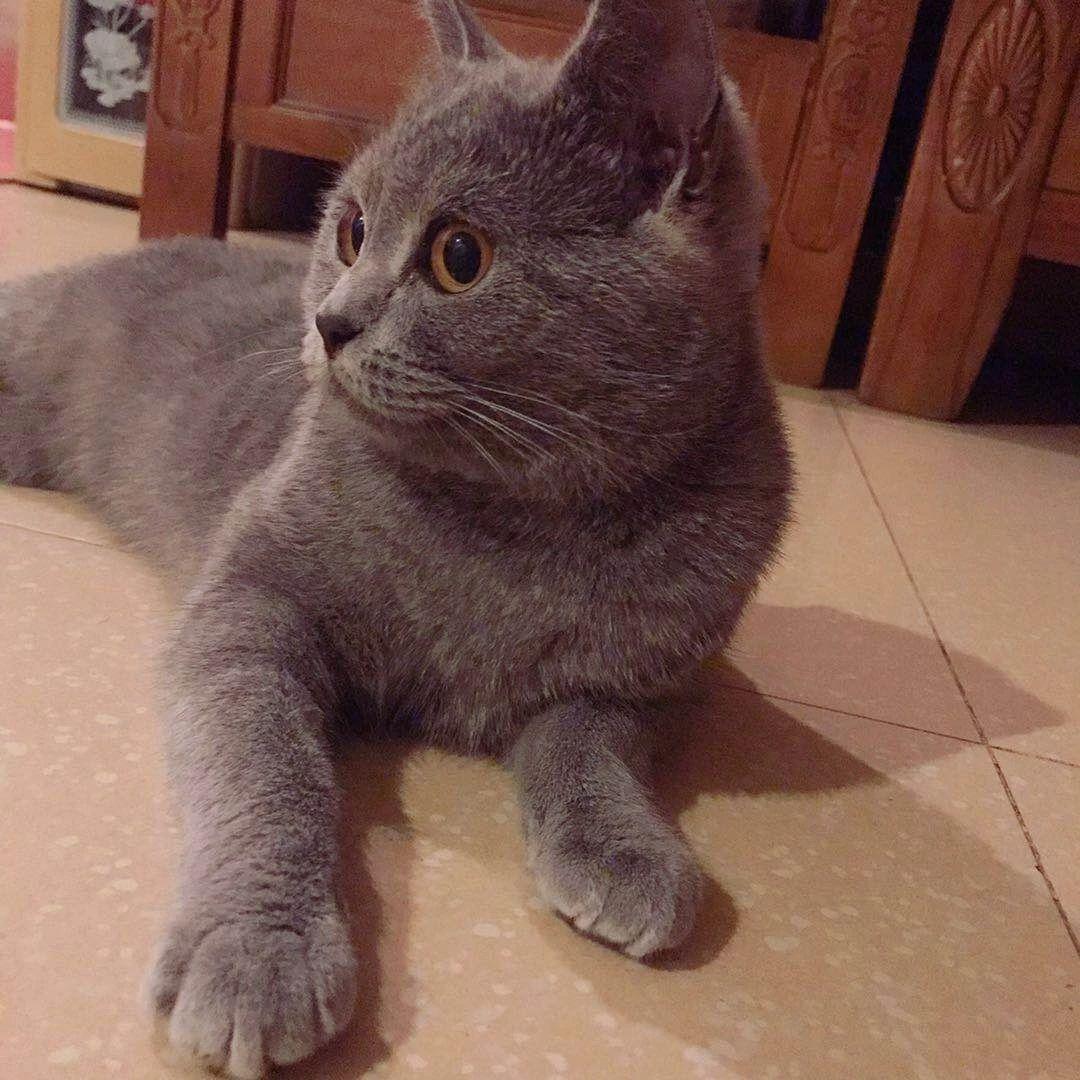 【图】出售自养蓝猫 公_广州宠物猫_广州列表网图片