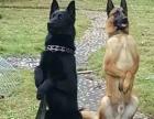 职业训犬师:部队大学训犬教官、十余年训犬生涯!