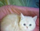 猫舍现有三母一公加菲猫出窝