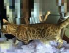 孟加拉豹猫母马上8个月出售