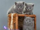 出售英短蓝白猫 宠物猫纯种英国短毛猫立耳折耳活体