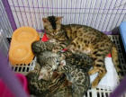 家养的豹猫生的一窝小豹猫咪咪