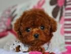 纯种贵宾犬价格 广州哪里有卖贵宾幼犬 疫苗齐包健康