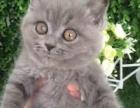 自家养的蓝白纯蓝猫咪宝宝,品相萌萌哒可视频
