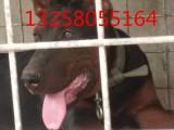 三四个月的莱州红犬图片视频 纯种莱州红犬幼崽价格怎么卖