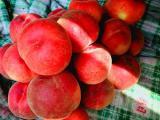 桃树苗-占地桃树苗出售