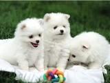 鄭州出售 精品博美幼犬狗狗出售 包純種 包健康