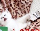纯种家养英短蓝猫 英短银渐层 公母都有 多只找新家