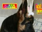 北京德国牧羊犬——全天营业微信看狗——送狗上门保终身