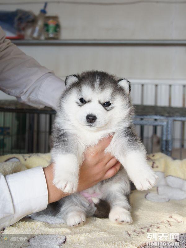 出售纯种哈士奇幼犬出售纯种哈士奇幼犬