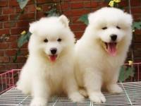 南宁最大狗场 特价直销世界名犬 萨摩耶犬等品种三百起