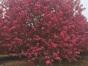 临沂15公分海棠树种植基地