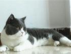 草莓猫舍:苏格兰折耳立耳妹妹晴雪