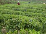 物超所值的都匀毛尖茶新光茶叶供应 绿茶都有哪些?