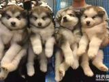 南京狗狗之家长期出售高品质 阿拉斯加 售后无忧