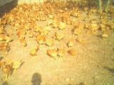 供应福建特色家禽、福建河田鸡养殖、福建河田鸡批发、河田鸡鸡苗