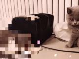 三个月蓝猫,母猫