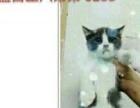 美短英短蓝白猫咪都是可爱的小胖虎