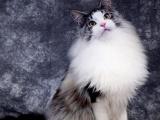 四川绵阳缅因猫幼猫怎么买