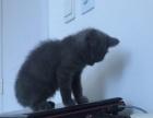 蓝猫找个好主人猫咪超正