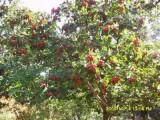 供应3-20公分的山楂树 柿子树 苹果树 杏树 梨树 樱桃树