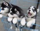 经典三把火双蓝眼 堪称较帅名犬 高品质哈士奇幼犬