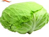 净卷心菜 基地直供 新鲜蔬菜