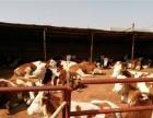 肉牛犊批发货到付款品种纯正保质保量安全免费保运到家在付款