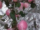 山西运城红富士苹果基地,山西运城膜袋红富士苹果价格