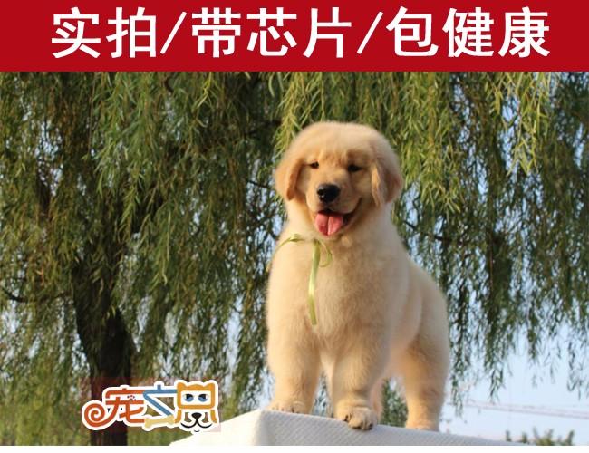 深圳赛级金毛犬 金毛犬多少钱一只 深圳狗场直销 纯种健康