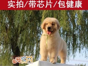 广州哪里买金毛犬好 首选广州正规狗场 赛级金毛犬价格优惠