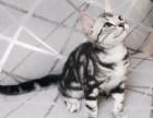 本地猫舍英短美短可爱调皮又黏人美丽大方