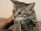 一猫在手 一生牵手 萌萌小豹猫 含泪出售