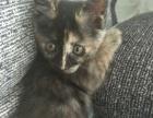 玳瑁小丑猫找新家