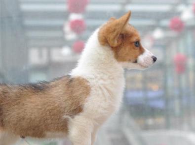武汉本地出售 柯基幼犬 包健康 包纯种 有多条狗狗挑选