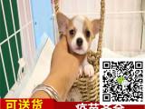 出售纯种 吉娃娃犬 墨西哥吉娃娃犬 保证健康
