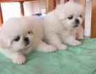 珠海哪有京巴犬卖 珠海京巴犬价格 珠海京巴犬多少钱