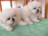 北京哪有京巴犬卖 北京京巴犬多少钱 北京京巴犬图片