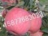 陕西优质红富士苹果价格