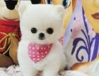 上海哪里有俊介犬出售,上海俊介价格,俊介犬多少钱