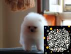 赛级大头长毛大白熊幼犬,品种纯正 保证健康