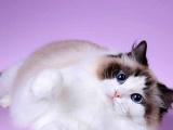 内蒙古鄂尔多斯纯种海双布偶猫出售价格