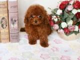 泰迪幼犬 保证纯种健康 签订活体协议 包退换