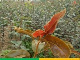 考密斯红梨树苗产地批发 早红梨树苗新品种