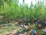 天津市蓟县大型果树苗木供应基地