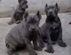狗场出售纯种马犬 德牧 卡斯罗 价格优惠 欢迎咨询