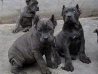 狗场出售纯种卡斯罗 杜高 比特犬多个品种包健康带血统证书
