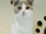 宁夏银川猫舍直销蓝白幼猫低价出售