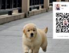 金毛幼犬 家庭伴侣犬 导盲犬陪伴老人小孩训练有素